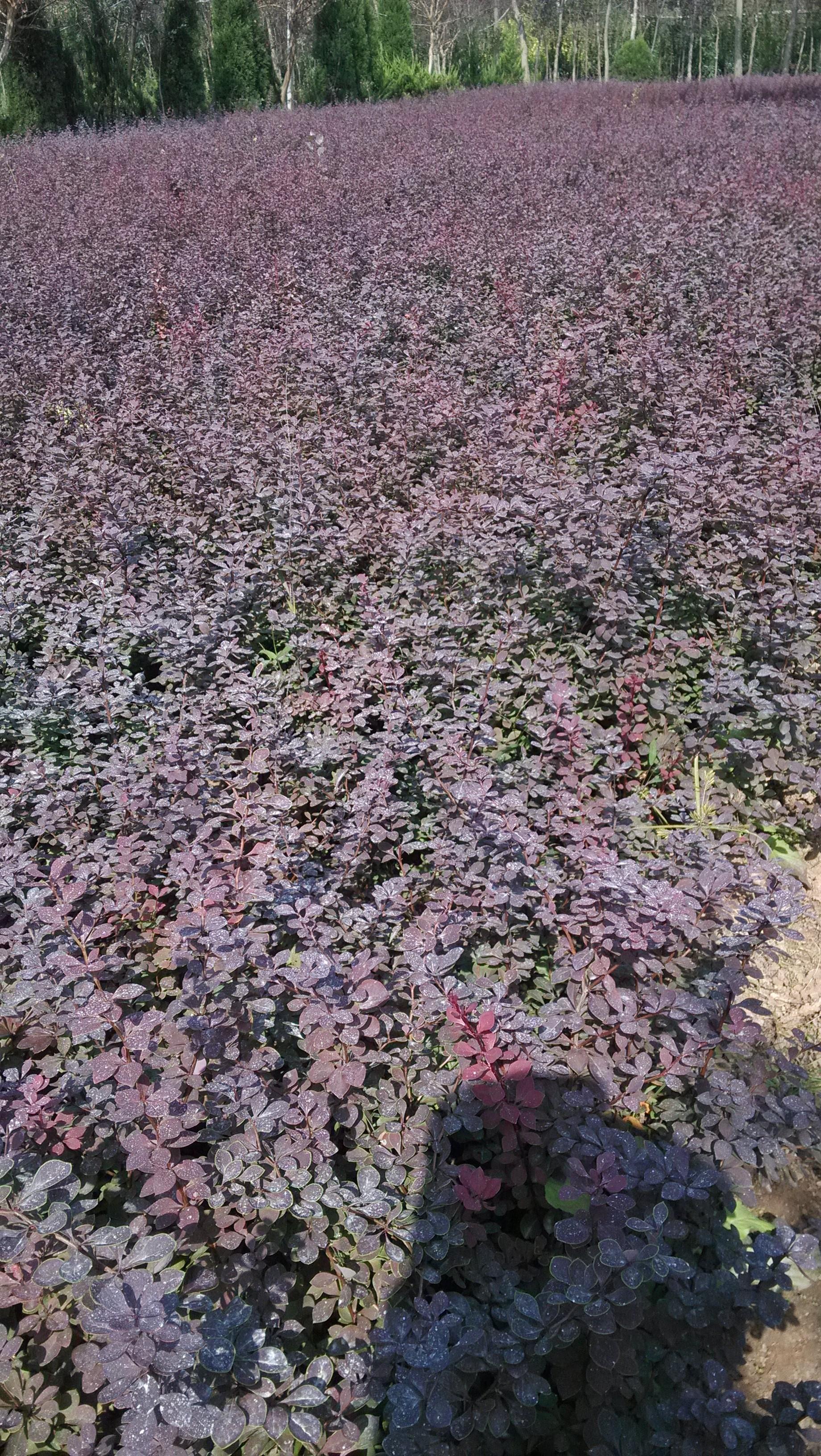 红叶小檗供应\/批发_杨春农产品批发\/采购-一亩